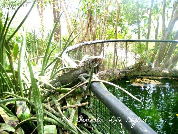 iguana in st. thomas, vi