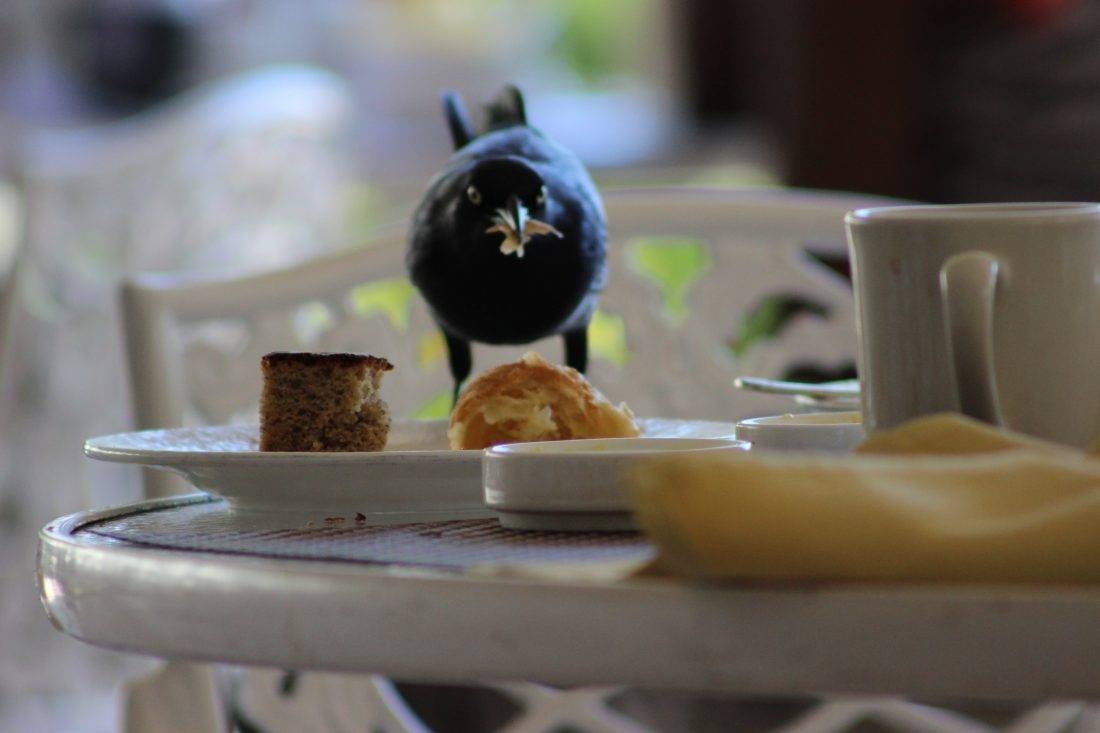 black bird eating breakfast
