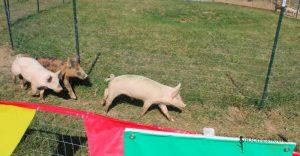 Pig running on grass