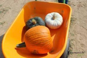 pumpkin in wheel barrow